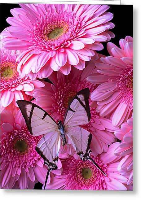 Gerbera Daisies Greeting Cards - White Butterfly On Pink Gerbera Daisies Greeting Card by Garry Gay