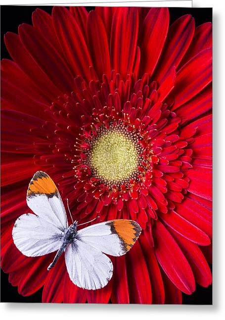 White Butterfly Greeting Cards - White butterfly on red daisy Greeting Card by Garry Gay
