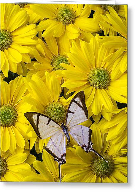 White Butterfly Greeting Cards - White butterfly on yellow mums Greeting Card by Garry Gay