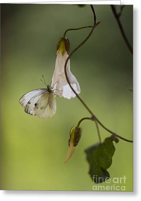 Antena Greeting Cards - White butterfly with dots sitting on the branch Greeting Card by Jaroslaw Blaminsky