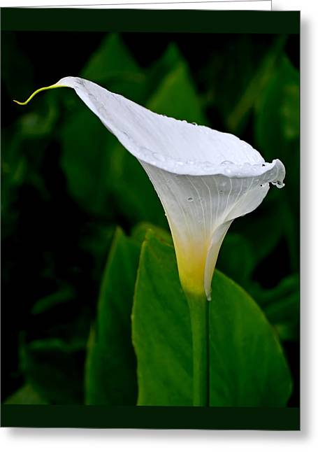 Calla Greeting Cards - White Calla Greeting Card by Rona Black