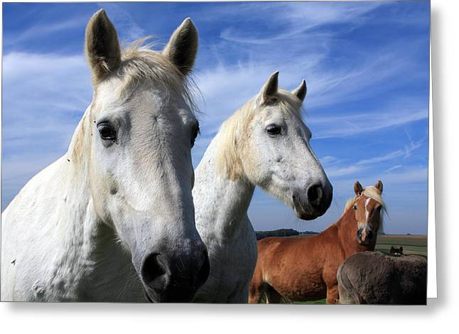 Horse Images Greeting Cards - White Camargue Horses Greeting Card by Aidan Moran