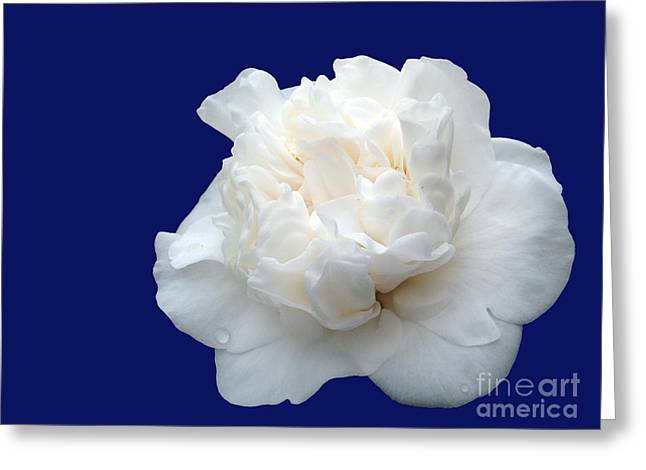 Camellia Japonica Greeting Cards - White camellia Greeting Card by Gaspar Avila
