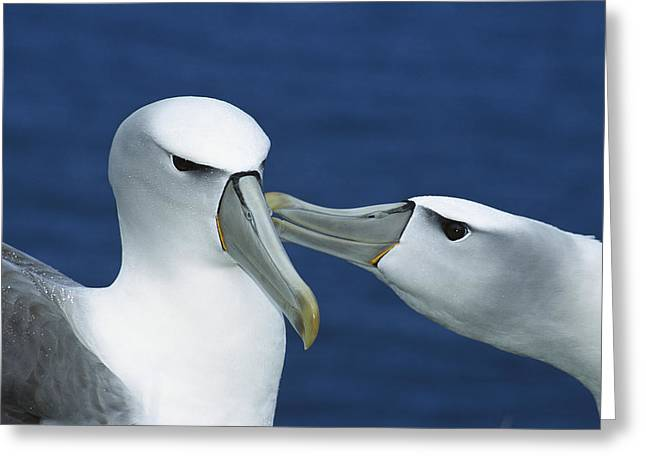 White Caps Greeting Cards - White-capped Albatrosses Courting Greeting Card by Tui De Roy