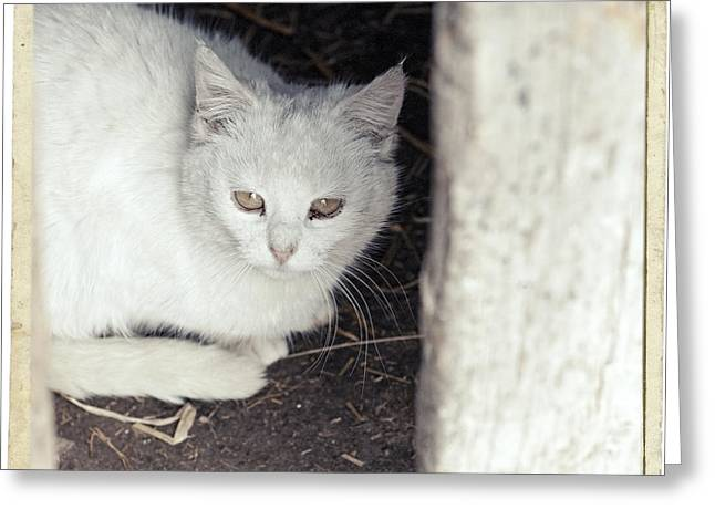 Breeds Pyrography Greeting Cards - White cat sitting under the table Greeting Card by Nerijus Juras