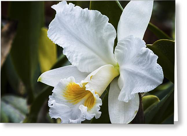 Cattleya Orchid Greeting Cards - White Cattleya Orchid Greeting Card by David Waldo