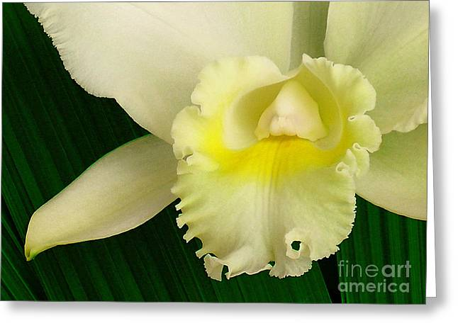 White Cattleya Orchid Greeting Card by James Temple