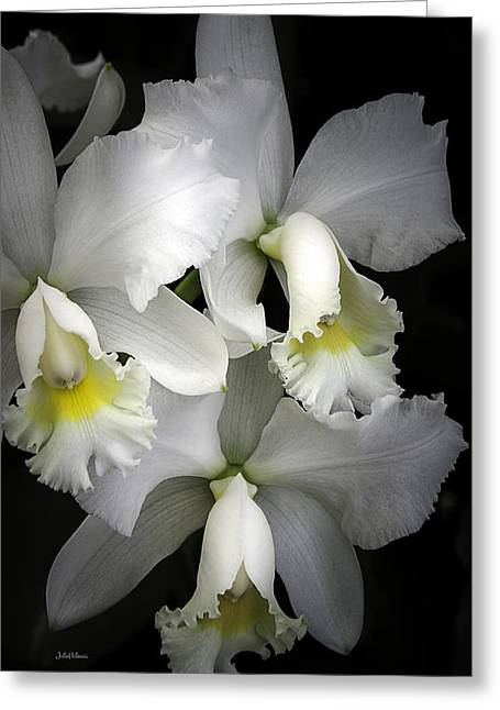 Cattleya Orchid Greeting Cards - White Cattleya Orchids Greeting Card by Julie Palencia