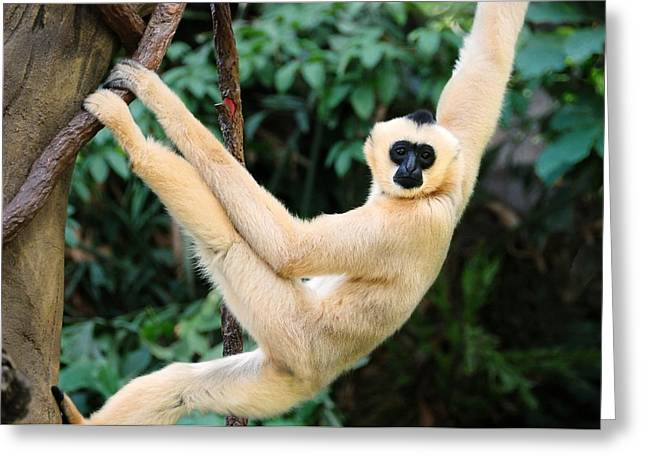 Primates Greeting Cards - White-cheeked Gibbon Greeting Card by Jim Hughes