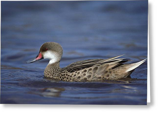 Jervis Greeting Cards - White-cheeked Pintail In Lagoon Greeting Card by Tui De Roy