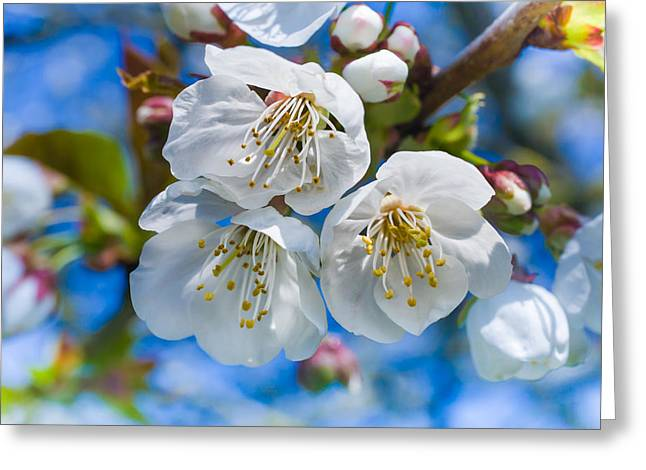 Newsom Greeting Cards - White Cherry Blossoms Blooming in the Springtime Greeting Card by Nila Newsom