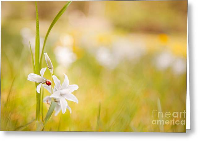 Abloom Greeting Cards - White Ornithogalum nutans flower with ladybug  Greeting Card by Arletta Cwalina