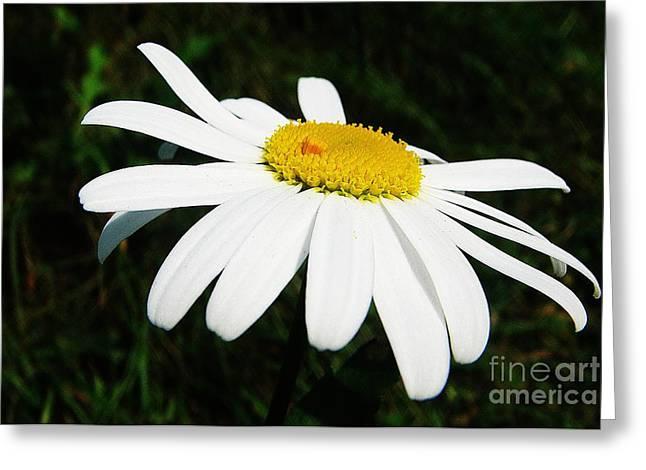 Macro Photography Greeting Cards - White chrysanthemum Greeting Card by Karin Ravasio