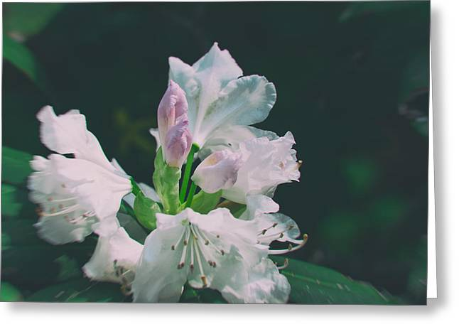 Azalias Greeting Cards - White cloud azalea  by Zina Zinchik Greeting Card by Zina Zinchik