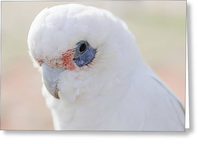 White Cockatoo, Exmouth, Australia Greeting Card by Science Photo Library
