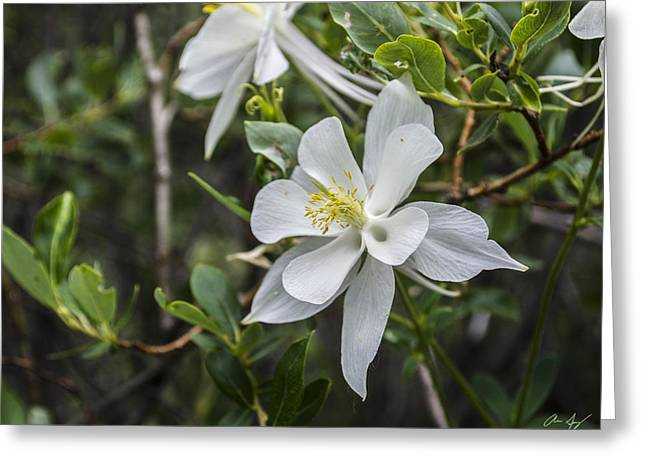 Balance In Life Greeting Cards - White Columbine Greeting Card by Aaron Spong
