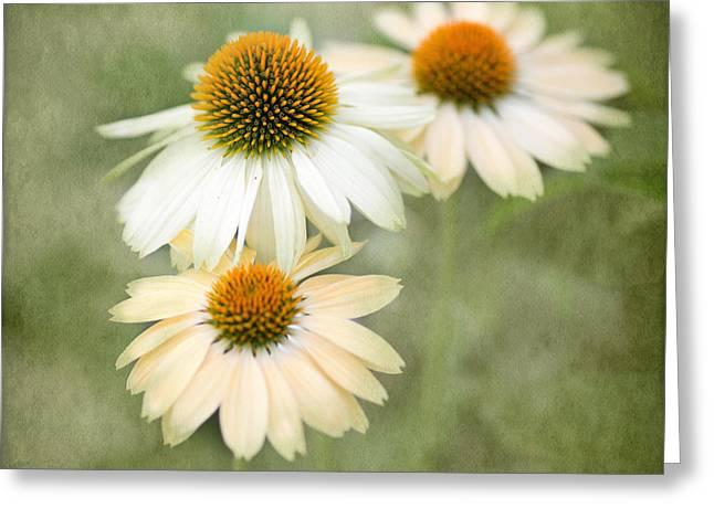 White Coneflower Trio Greeting Card by Rebecca Cozart
