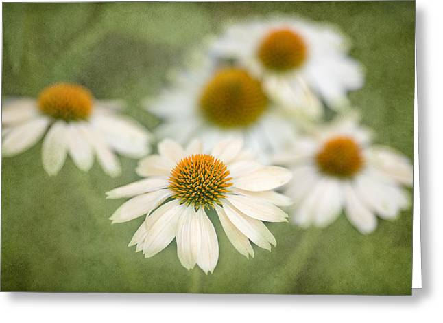 Coneflower Greeting Cards - White Coneflowers Greeting Card by Rebecca Cozart