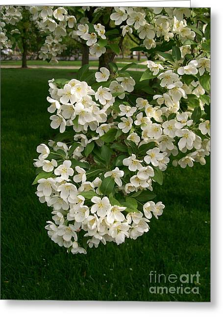 Crabapple Cards Greeting Cards - White Crabapple Greeting Card by Laurie Eve Loftin