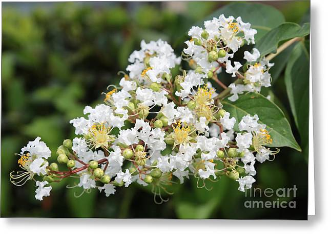 Crape Greeting Cards - White Crepe Myrtle Flower Greeting Card by Carol Groenen