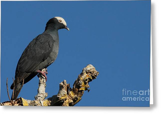 J N Ding Darling National Wildlife Refuge Greeting Cards - White-crowned Pigeon Greeting Card by Meg Rousher