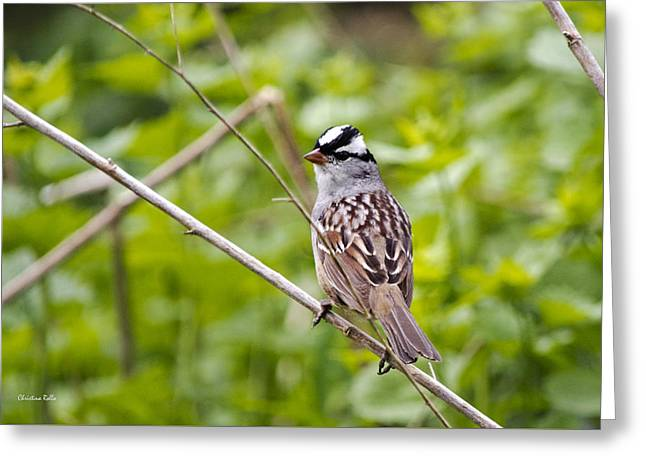 White-crowned Sparrow Greeting Card by Christina Rollo