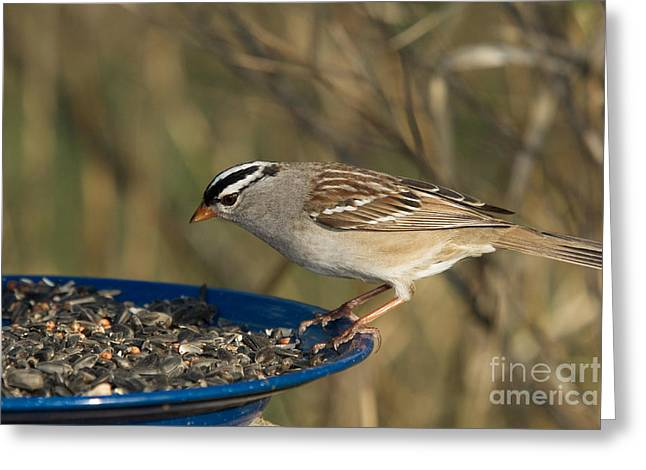 Northwoods Greeting Cards - White-crowned Sparrow Eats Greeting Card by Linda Freshwaters Arndt