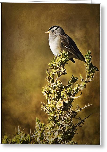 Monte Vista Greeting Cards - White-crowned Sparrow Greeting Card by Priscilla Burgers