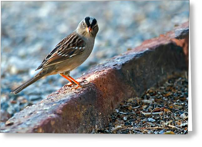 Sparrow Greeting Cards - White-crowned Sparrow Greeting Card by Robert Bales