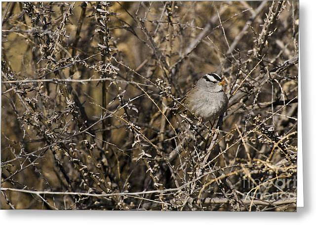 Sparrow Greeting Cards - White-crowned Sparrow Greeting Card by William H. Mullins