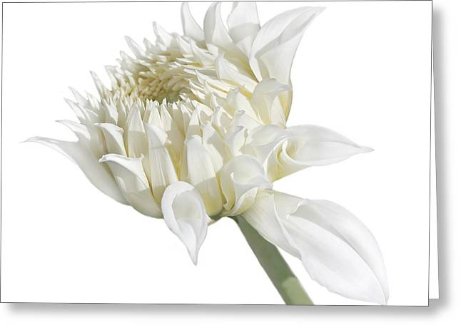 Ivory Flower Greeting Cards - White Dahlia Flower in the Beginning Greeting Card by Jennie Marie Schell