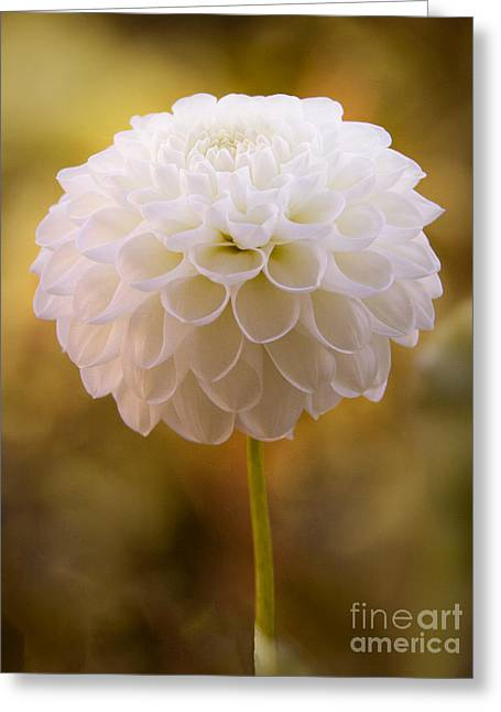 Photoart Greeting Cards - White Dahlia Greeting Card by Lutz Baar