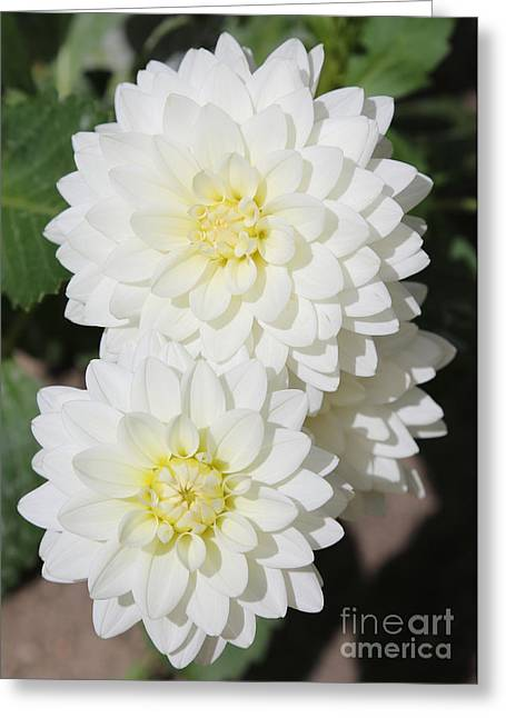 Crisp Greeting Cards - White Dahlias Greeting Card by Carol Groenen