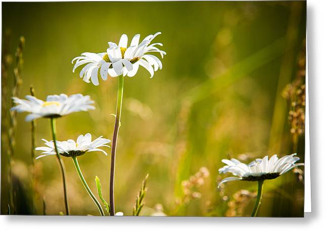 Bellis Greeting Cards - White Daisies Greeting Card by Matt Dobson