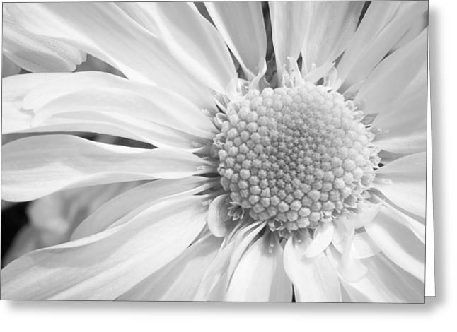 White Daisy Greeting Card by Adam Romanowicz