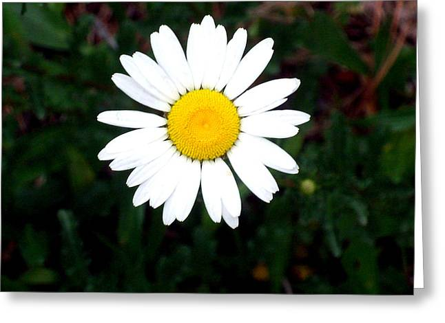 """flower Still Life Prints"" Greeting Cards - White Daisy Greeting Card by B L Hickman"