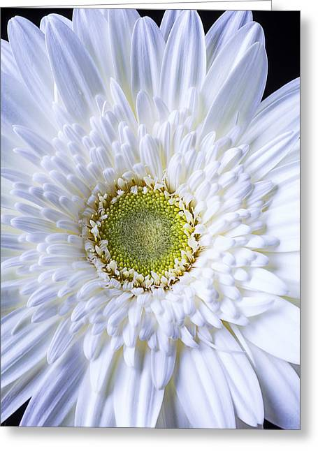 White Photographs Greeting Cards - White Daisy Close Up Greeting Card by Garry Gay