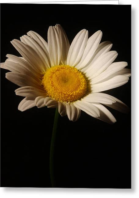 Chrystal Greeting Cards - White Daisy Greeting Card by Greg and Chrystal Mimbs