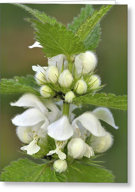 Biological Greeting Cards - White dead-nettle (Lamium album) flowers Greeting Card by Science Photo Library