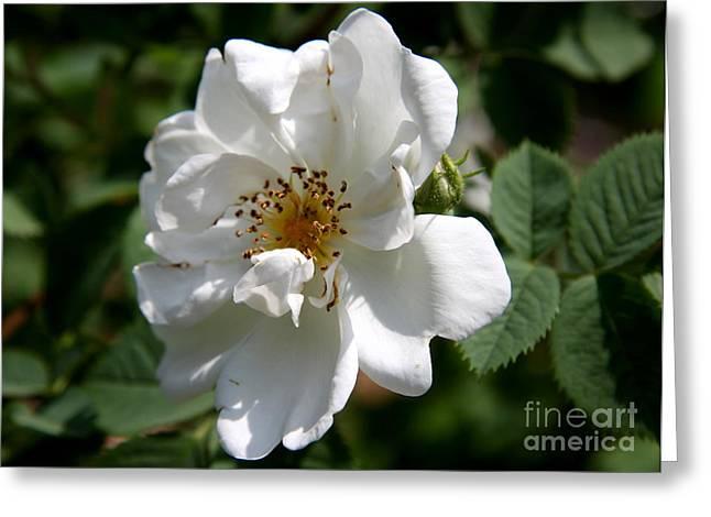 Christiane Schulze Greeting Cards - White Dog Rose Greeting Card by Christiane Schulze Art And Photography