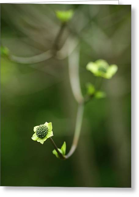White Photographs Greeting Cards - White Dogwood Greeting Card by Rebecca Cozart