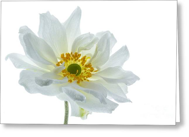 Thimbleweed Greeting Cards - White Double Japanese Anemone Greeting Card by Ann Garrett
