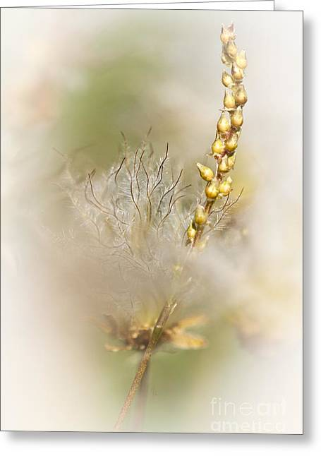 Avens Greeting Cards - White Dryas  Greeting Card by Heiko Koehrer-Wagner