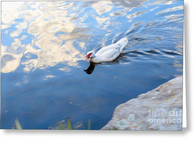 Aquatic Bird Greeting Cards - White Duck on White Clouds Greeting Card by Kaye Menner