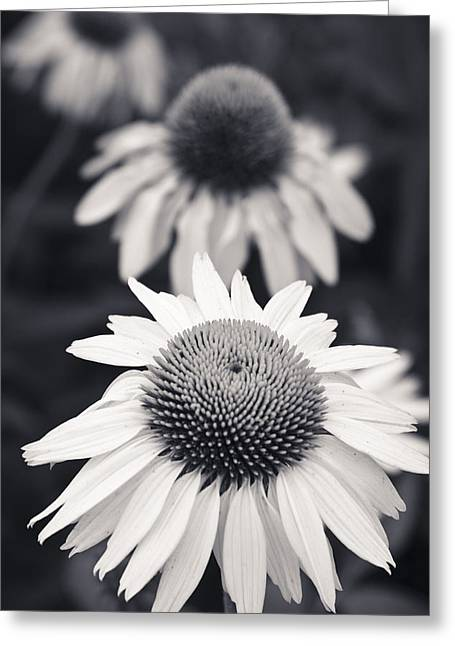 Abstracted Coneflowers Greeting Cards - White Echinacea Flower or Coneflower Greeting Card by Adam Romanowicz