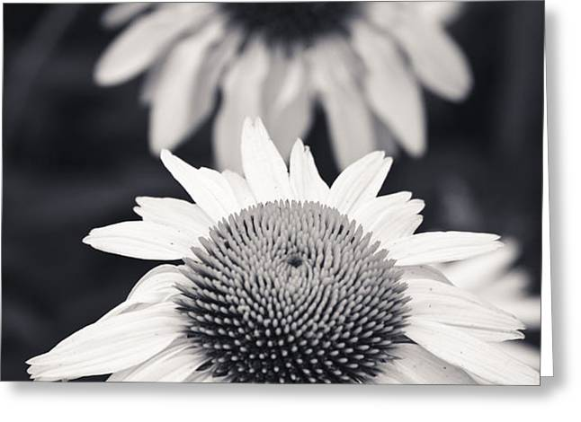 White Echinacea Flower or Coneflower Greeting Card by Adam Romanowicz