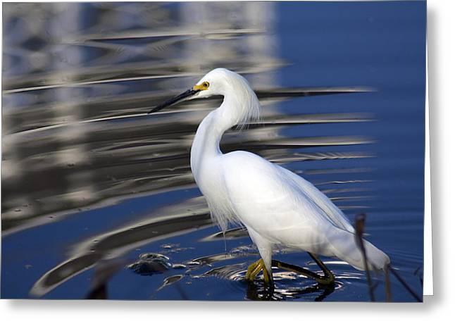 Wildlife Celebration Greeting Cards - White Egret at Celebration Florida Greeting Card by Carl Purcell