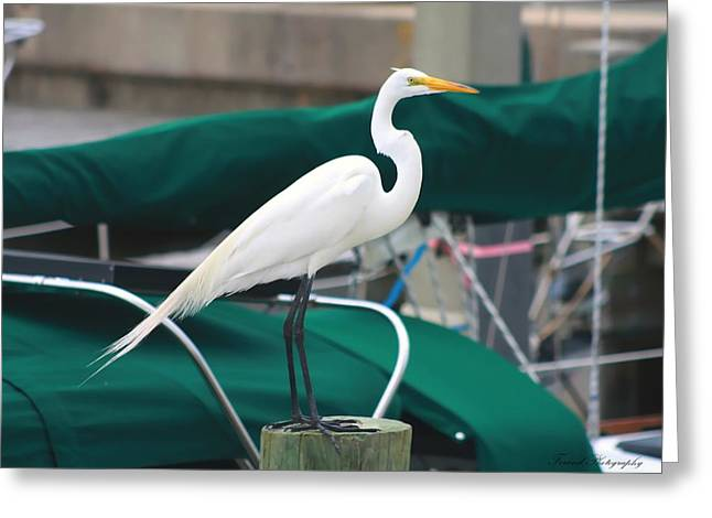 White Egret Greeting Card by Debra Forand