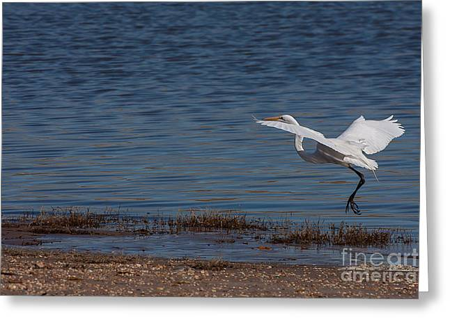 Print On Canvas Greeting Cards - White Egret in Flight Greeting Card by Jeff Monk