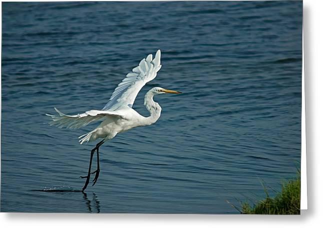 Flying Bird Greeting Cards - White Egret Landing Greeting Card by Ernie Echols